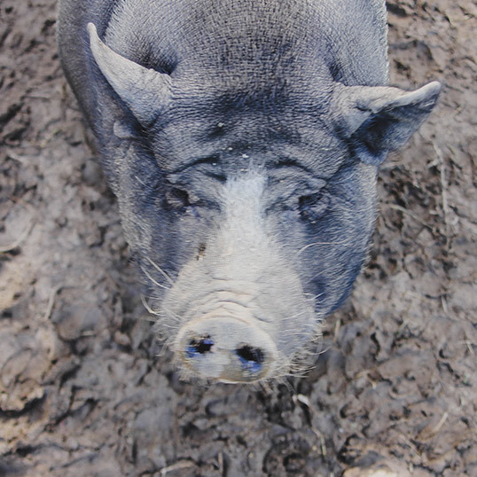 pig02